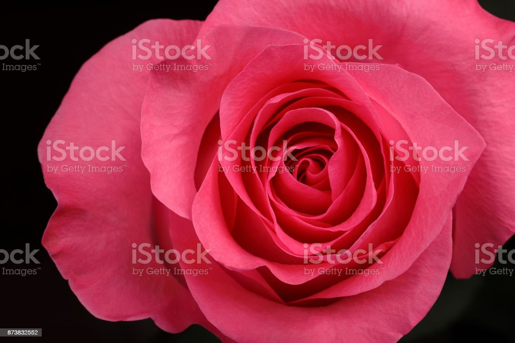 single beautiful  pink rose stock photo