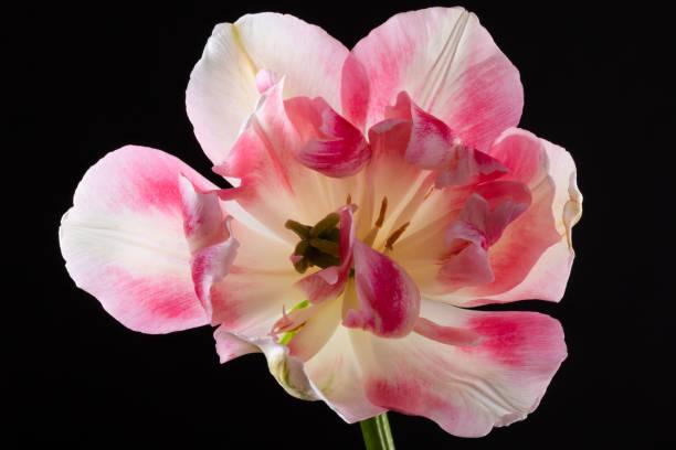 Single, rosa Tulpe isoliert auf schwarzem Hintergrund – Foto