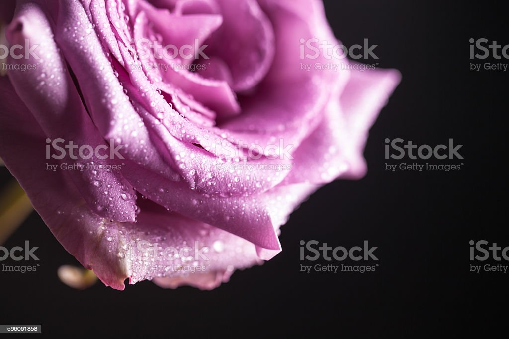 single beautiful purple rose and dews with black background royalty-free stock photo