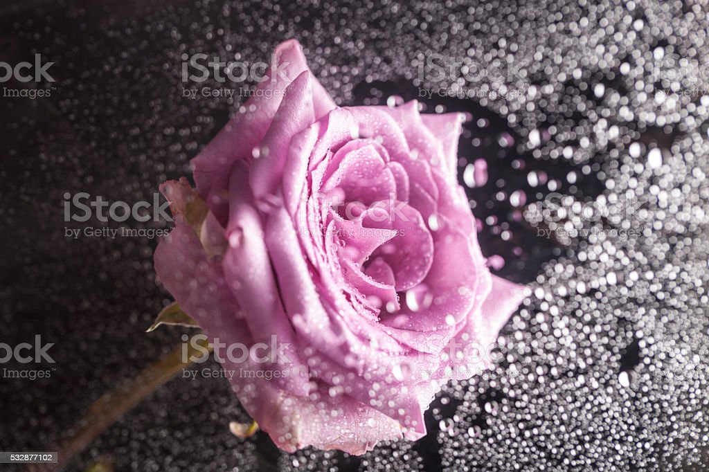 single beautiful purple rose with black background with light dots stock photo