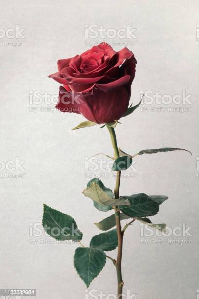 Single beautiful red rose isolated on white picture id1133382684?b=1&k=6&m=1133382684&s=612x612&h=0gzdp68x 5zsvfc59iycapu0q0kfh7lhunt5h hoays=