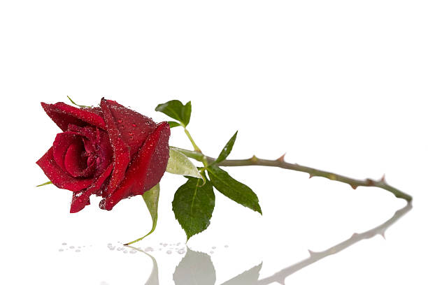 single beautiful red rose isolated on white - sharp stock photos and pictures