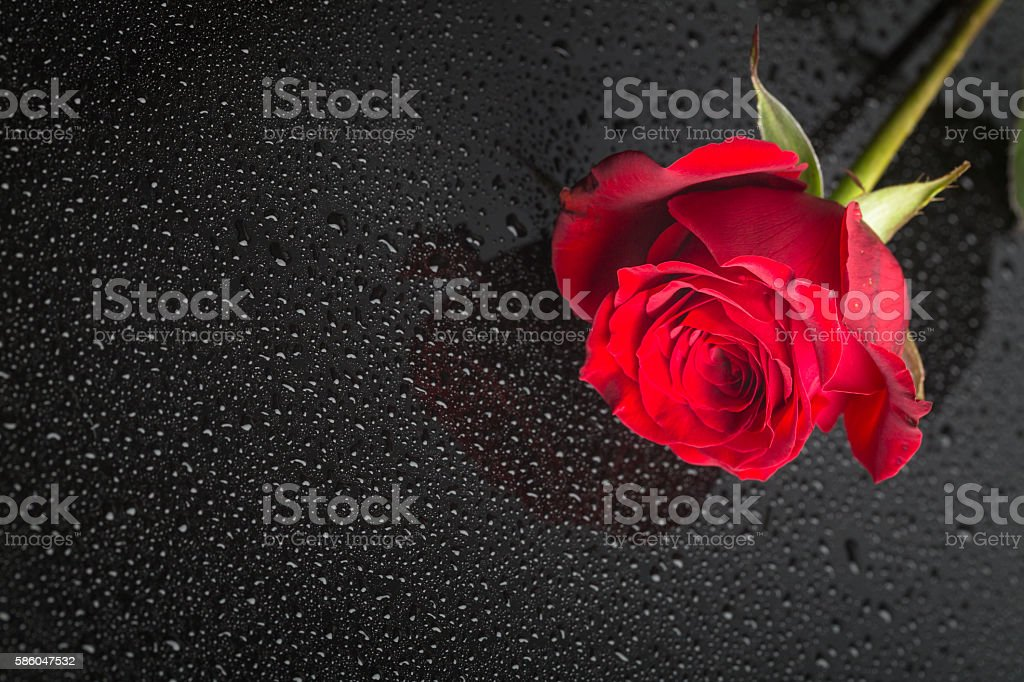single beautiful red rose lay on black surface stock photo