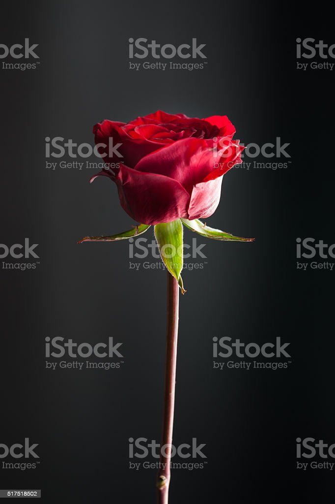 single beautiful red rose with black background stock photo