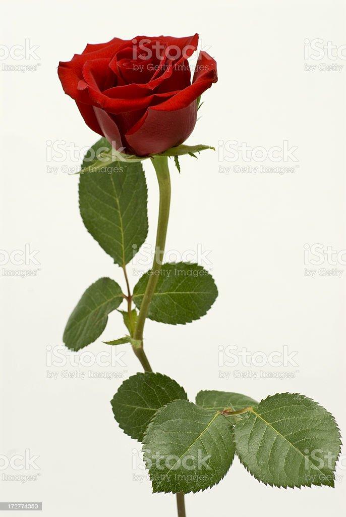 Single Beautiful Rose royalty-free stock photo