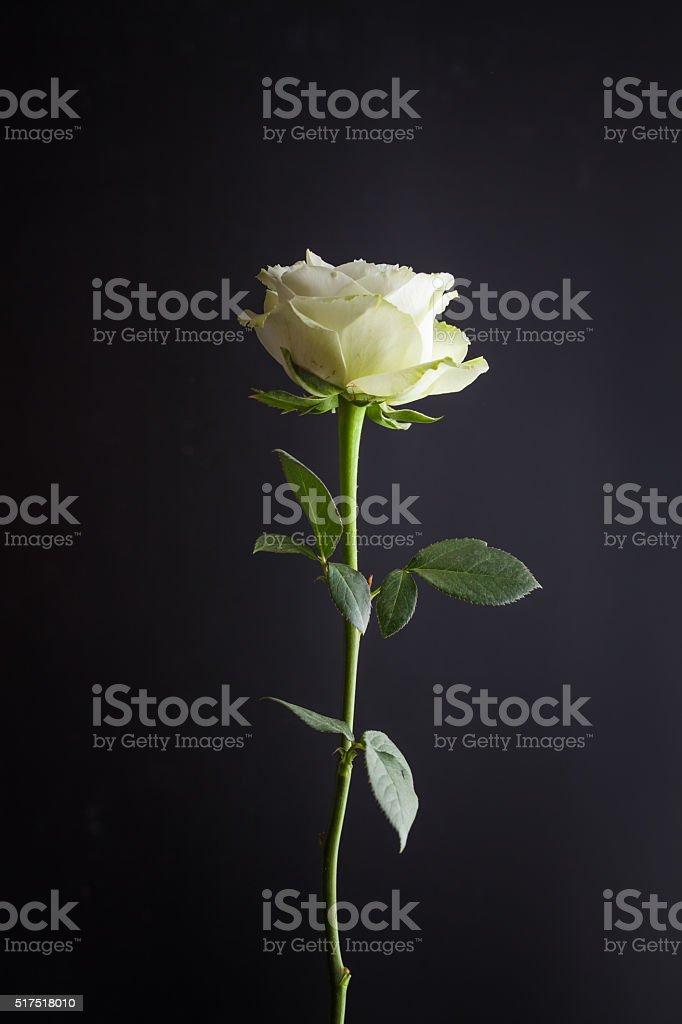 Una Bellissima Rosa Bianca Con Sfondo Nero Fotografie Stock E