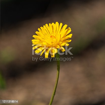 Single beautiful yellow dandelion flower at striped blurred background