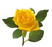 single beautiful  yellow rose