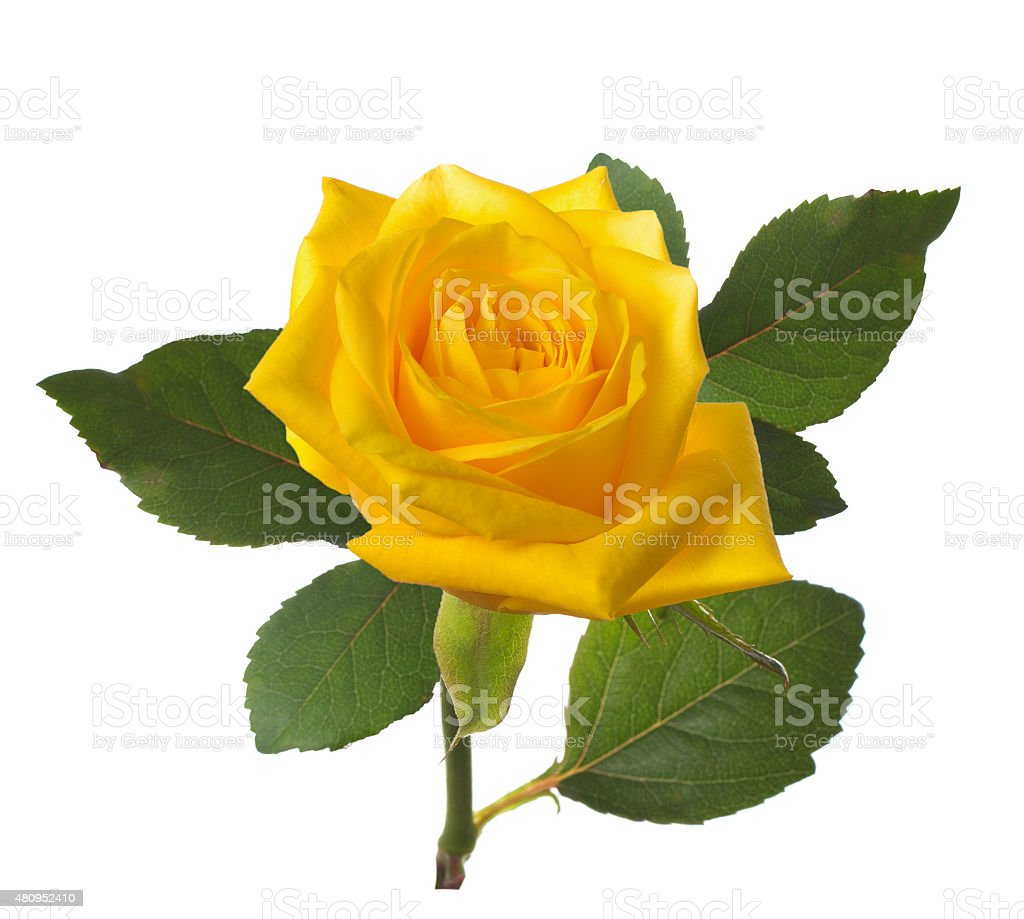 single beautiful  yellow rose stock photo
