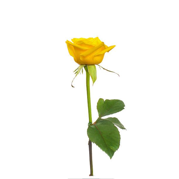 une belle rose jaune - objet jaune photos et images de collection