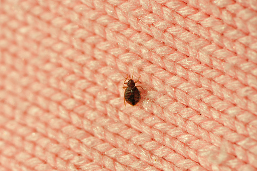A Single Bed Bug On A Blanket Fiber Stock Photo - Download Image Now