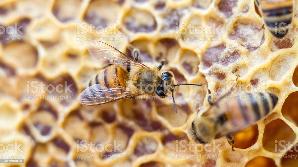 Single Bee (16:9) stock photo
