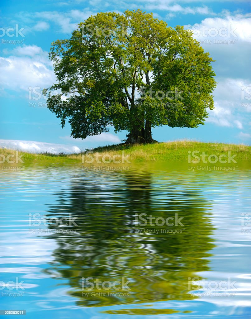 single beech tree at summer stock photo
