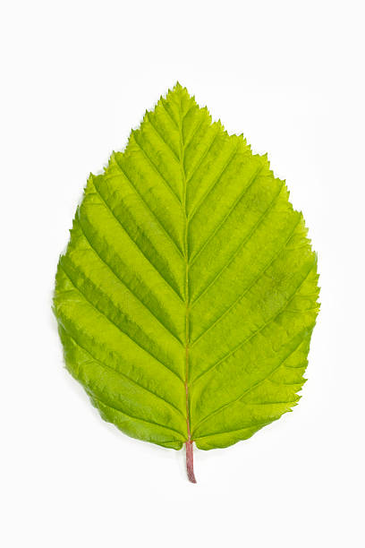 Single beech tree leaf (Fagus) Single beech tree leaf (Fagus) beech tree stock pictures, royalty-free photos & images