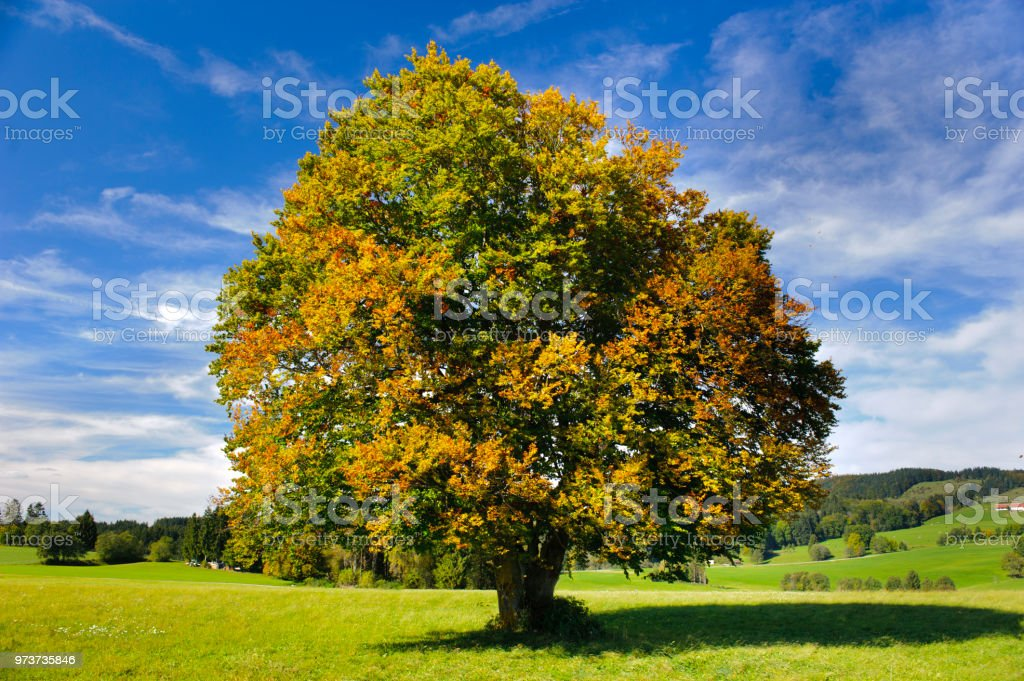single big beech tree in field with perfect treetop stock photo