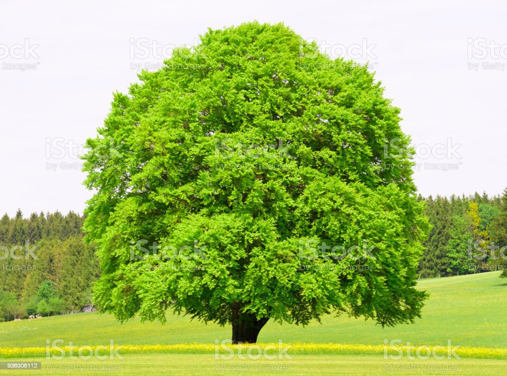 single big beech tree in meadow at spring stock photo