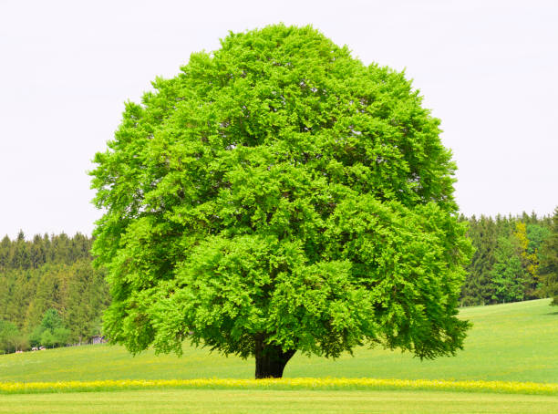 single big beech tree in meadow at spring single big beech tree in meadow at spring beech tree stock pictures, royalty-free photos & images