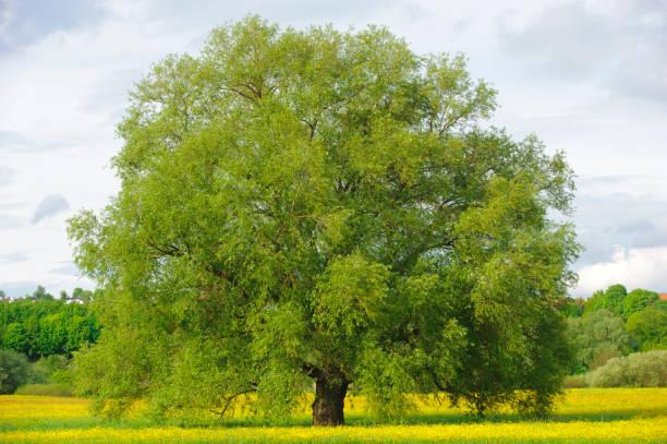 tek büyük ıhlamur ağacı mükemmel treetop alanı - yaprak döken ağaç stok fotoğraflar ve resimler