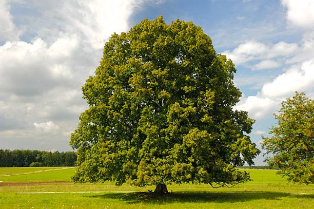 single big linden Baum – Foto