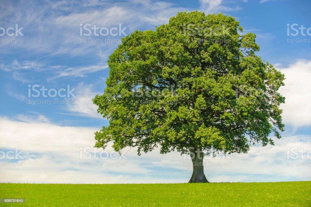 einzigen großen Eiche im Feld mit perfekten Baumkrone – Foto