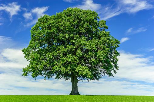single big oak tree in meadow