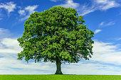 istock single big oak tree in meadow 1225517650
