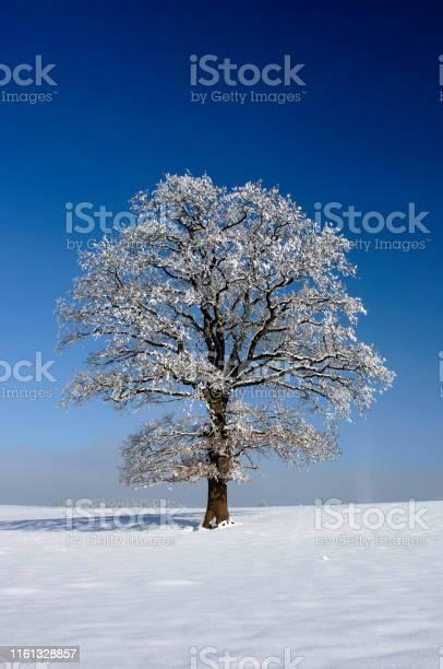 Photo of single big oak tree in winter with snow
