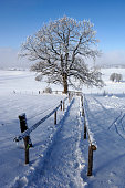 single big old deciduous tree in meadow at cold winter day