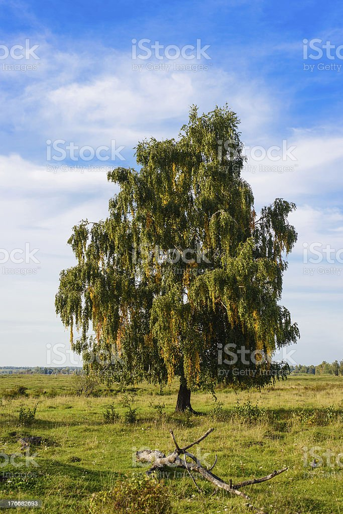 Single birch on field royalty-free stock photo