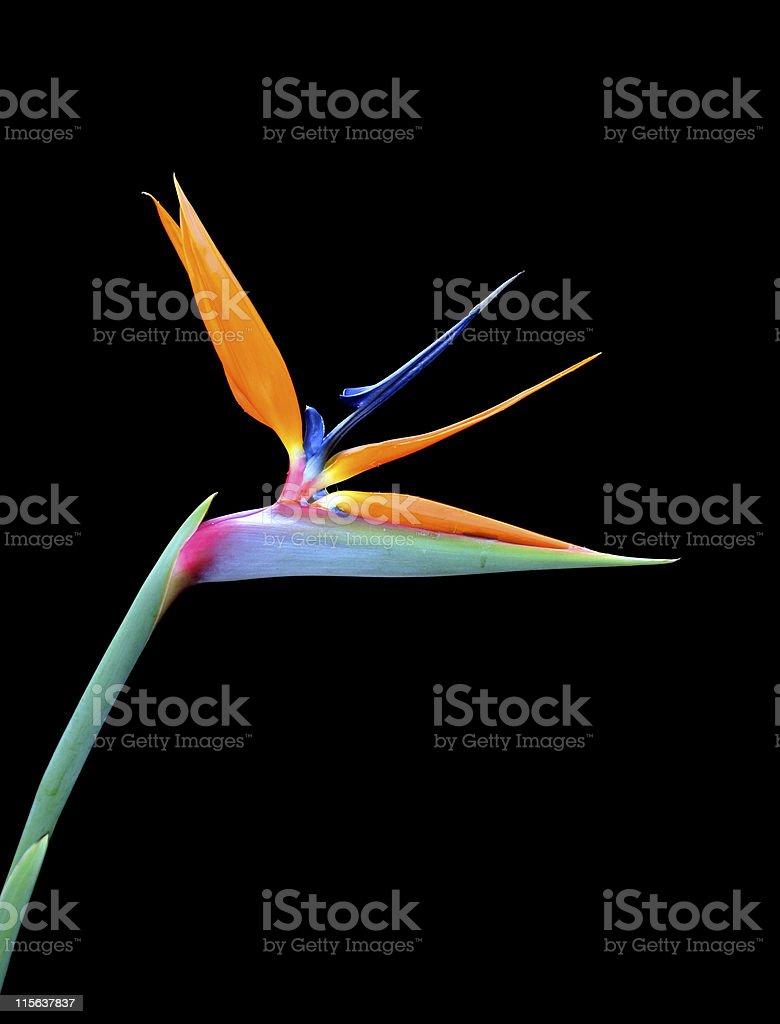 Single bird of paradise flower on a black background stock photo