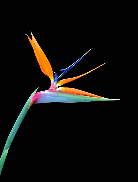 Single bird of paradise flower on a black background stock photo