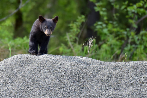 Single black bear cub stock photo