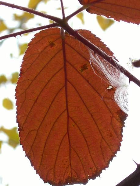 Single Blackberry Leaf stock photo