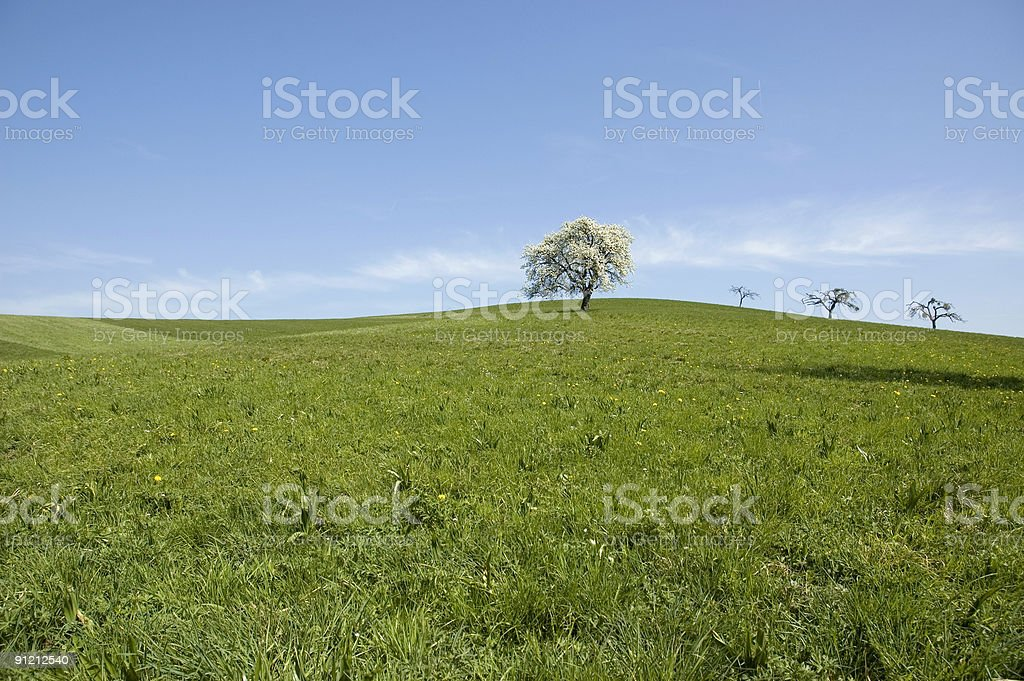 single blooming apple tree royalty-free stock photo
