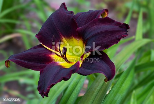 Close up of a single blooming deep red and yellow day lily flower with green leaves in the background