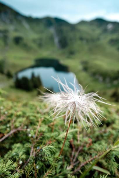 Einzigen blühenden weißen-Kuhschelle (Pulsatilla Alpina) mit einem alpinen See im Hintergrund – Foto