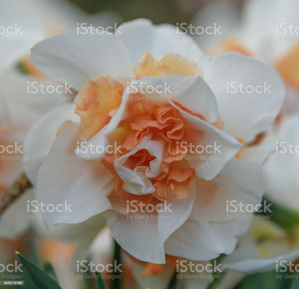 A single blooming white-orange narcissus in Keukenhof. Close up stock photo