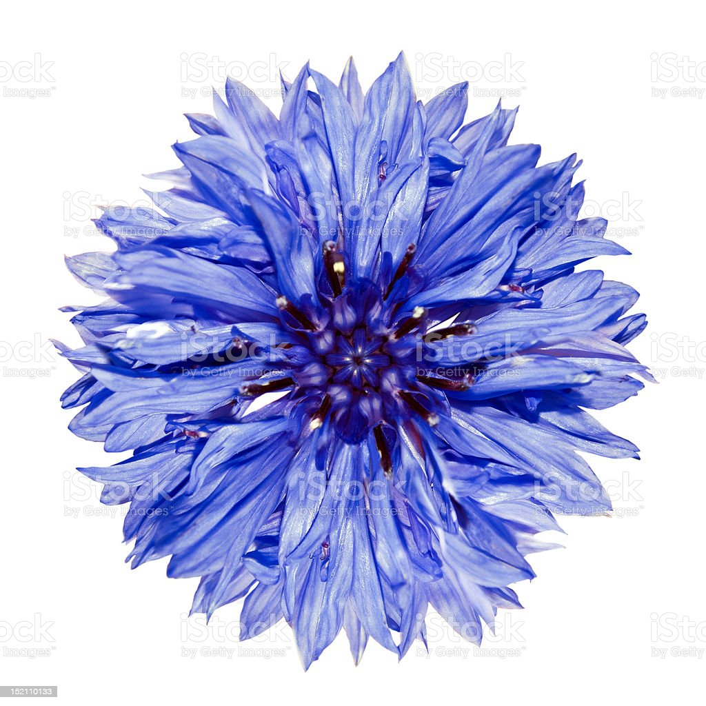 Single blue cornflower on white background stock photo
