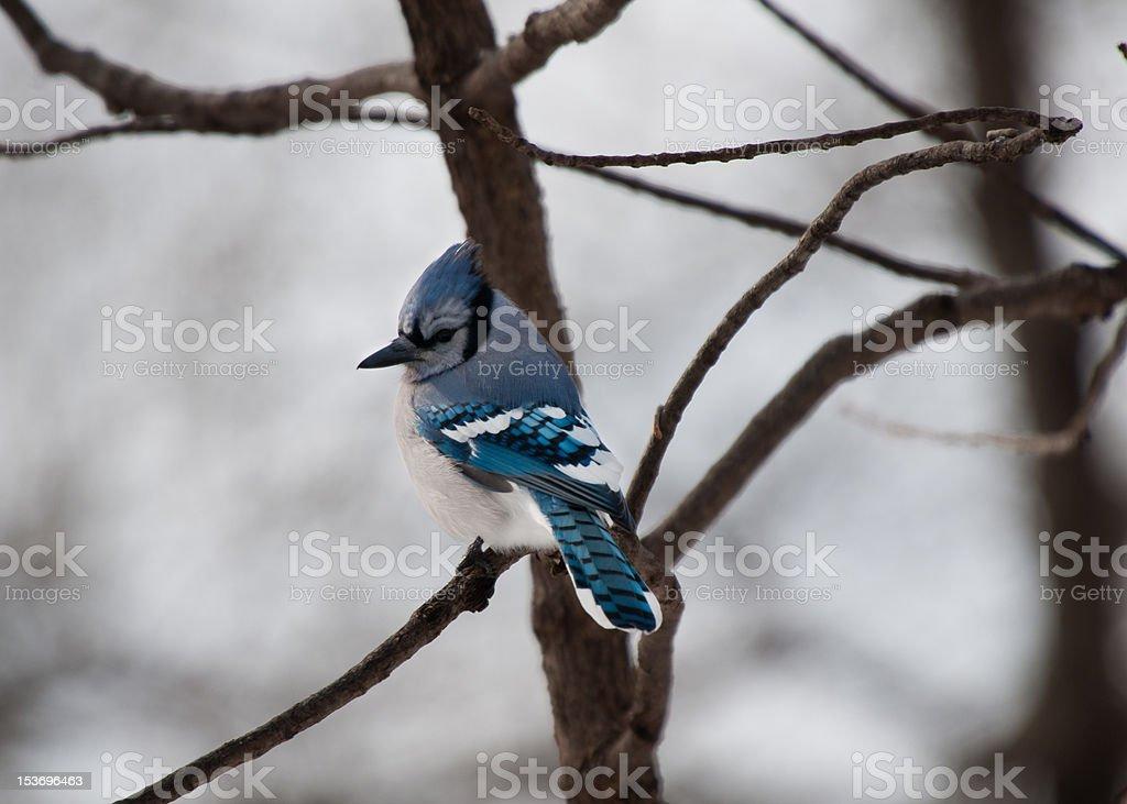 Single blue jay sits on a tree branch stock photo