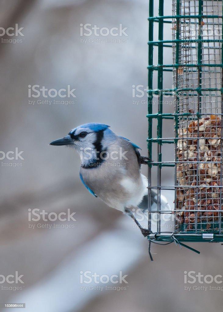 Single blue jay sits on bird feeder stock photo