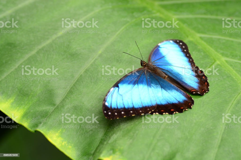 Single Blue morpho butterfly with spread wings resting on Taro stock photo