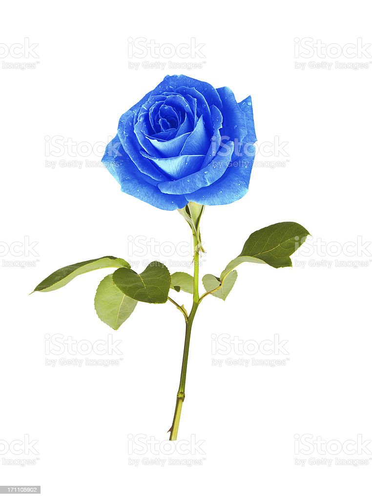 single blue rose stock photo