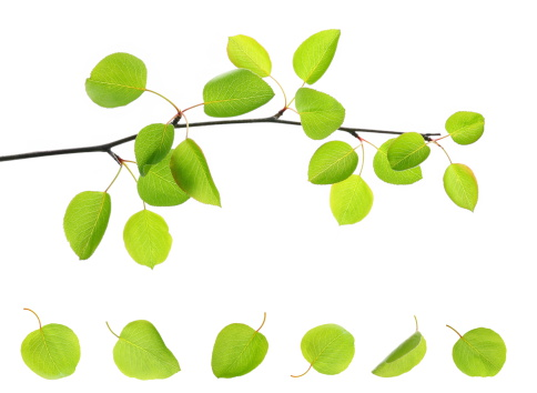 Single branch with several attached and fallen apple leaves