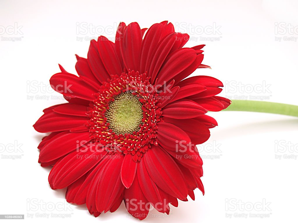Single bright red gerbera daisy flower on white background royalty-free stock photo