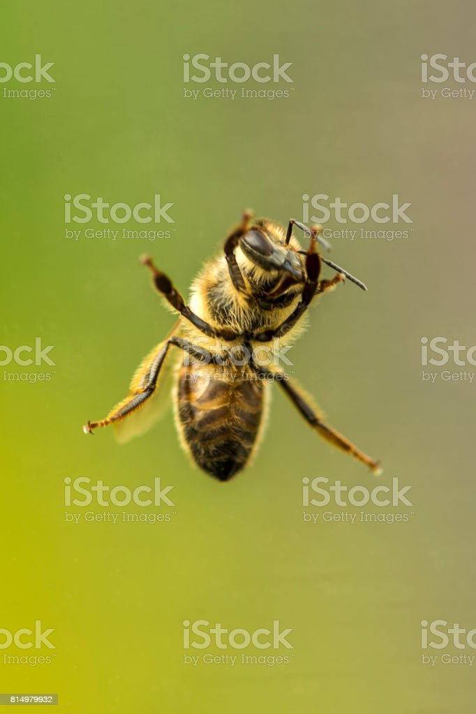 Single British Honey Bee Close Up stock photo