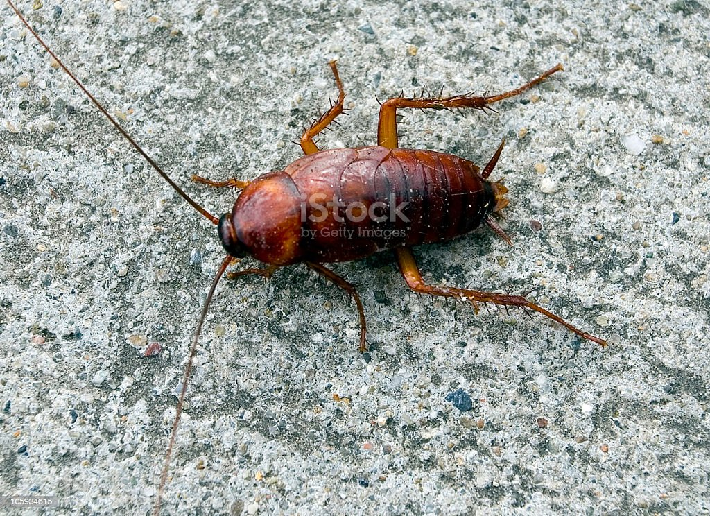A single brown cockroach on a stone surface A large cockroach Brown Stock Photo