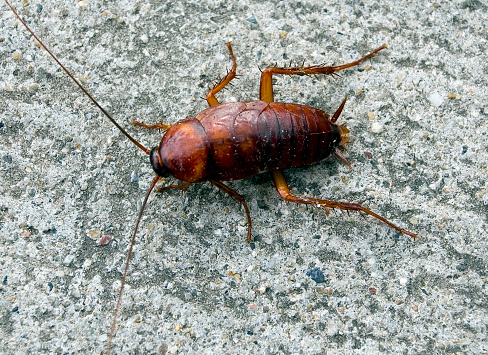A Single Brown Cockroach On A Stone Surface Stock Photo - Download Image Now