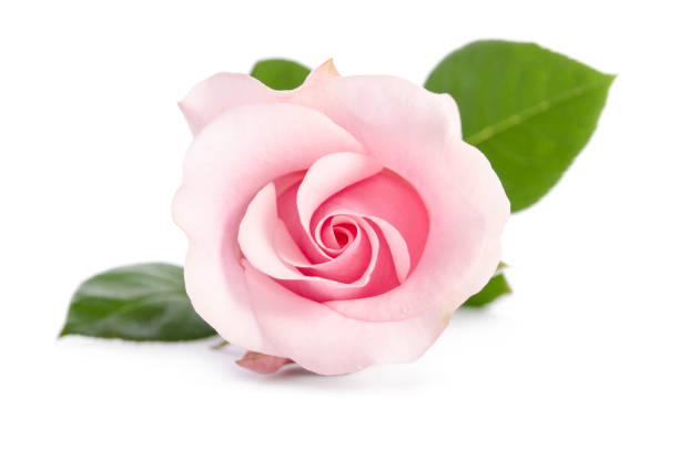 Single bud of pink rose isolated on white background picture id854472114?b=1&k=6&m=854472114&s=612x612&w=0&h=nag ghvx9hqiovt6nzjom1t1z gy2qwaq2bgbejqply=
