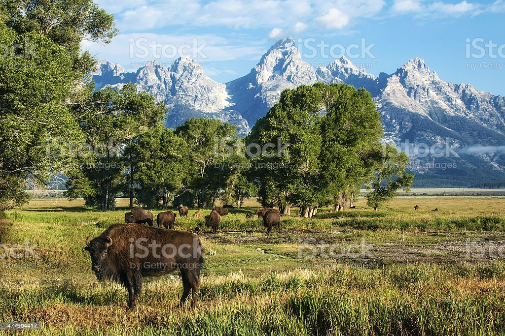 Single Buffalo and Herd with Tetons stock photo