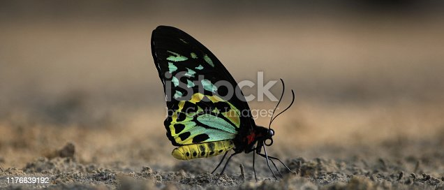 Single butterfly with closed wings on dark sand